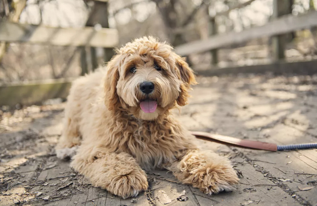 Chó Lông Xoăn