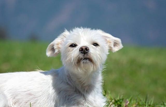 Chó Maltese Lai