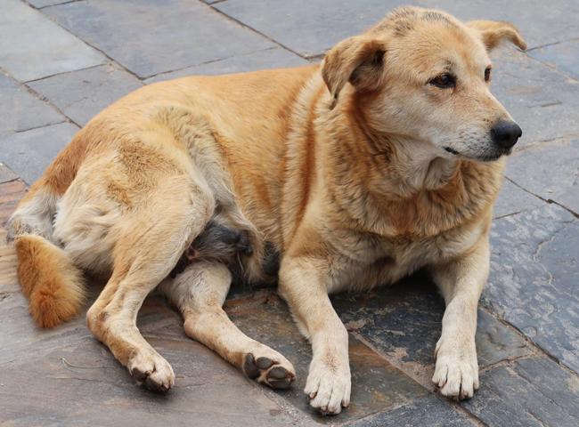 Chó Chửa Mấy Tháng - Dấu Hiệu Cụ Thể