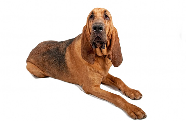 cho mat nhan Bloodhound