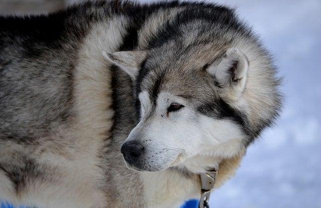 Chó Nga