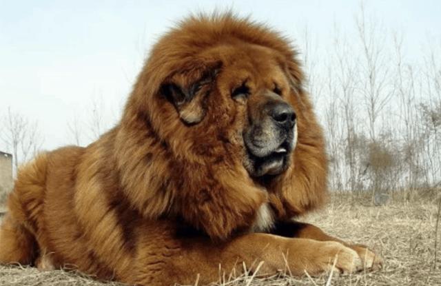 Chó Ngao Tây Tạng Nguồn Gốc