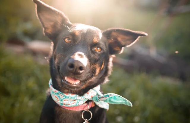 Chó Nghiến Răng