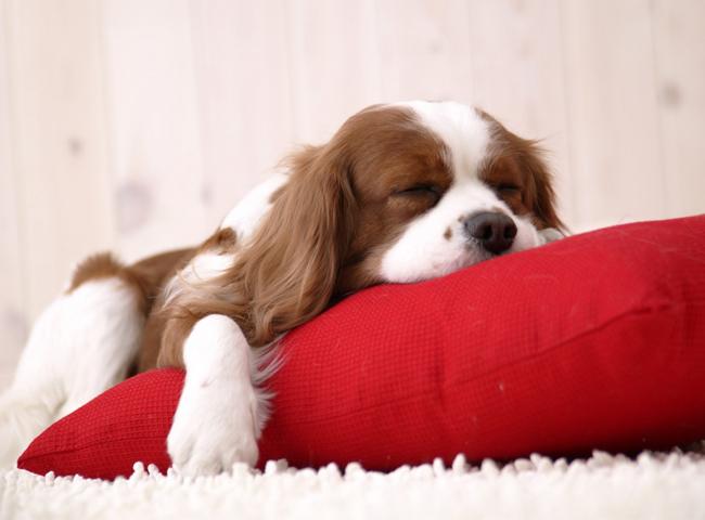 Chó Ngủ Nhiều
