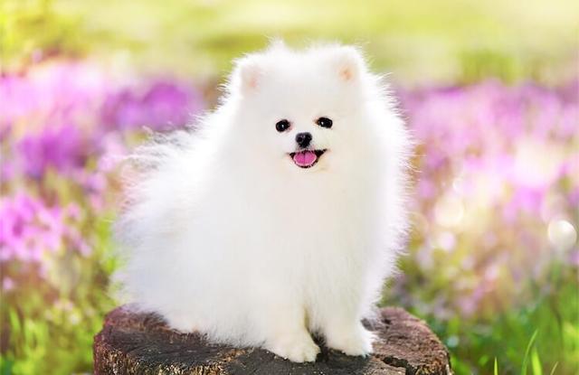 Chó Phốc Sóc Trắng