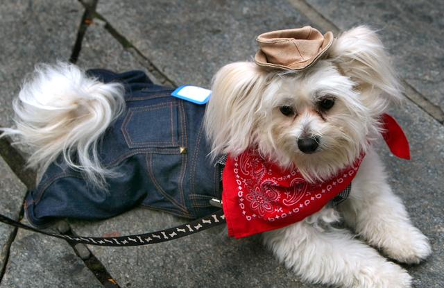 Chó Poodle Lai Phốc Sóc