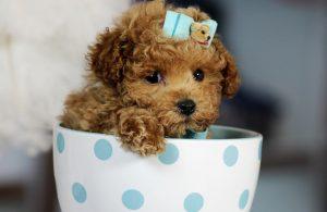 cho poodle teacup