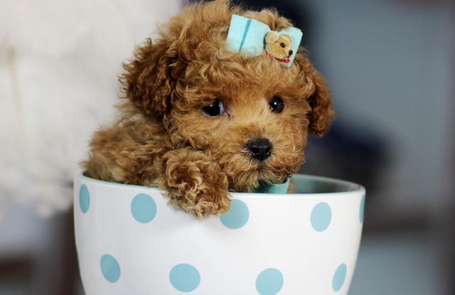 Chó Poodle Teacup