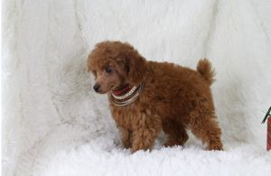 cho poodle toy