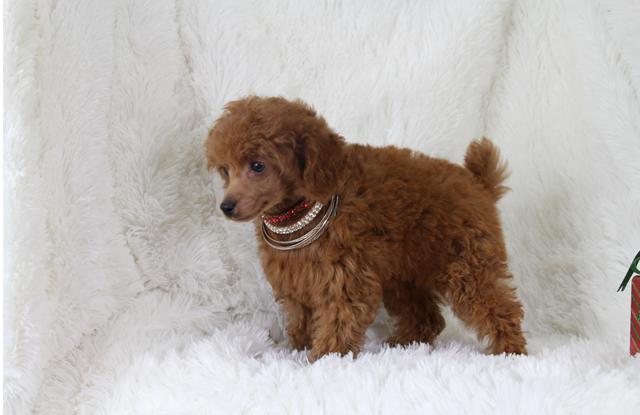 Chó Poodle Toy