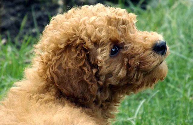 cho poodles cham soc
