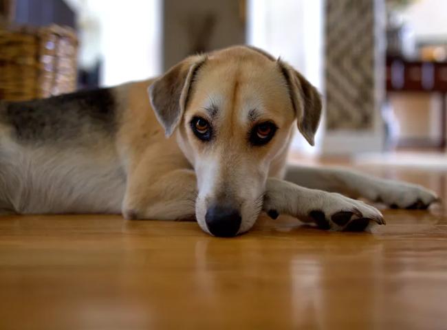 Chó Rên Rỉ