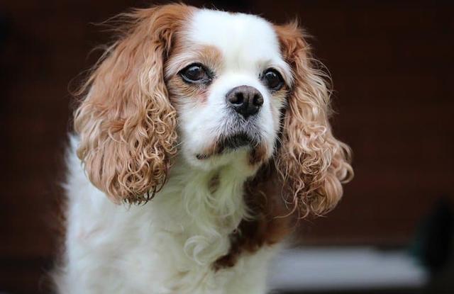 Chó Spaniel