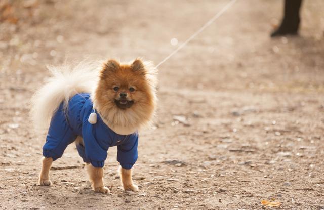 Chó SpitzĐức