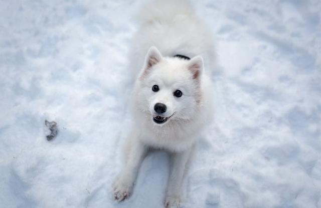 Chó Spitz Nhật Bản