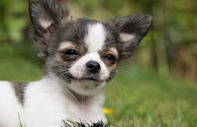 Chó Teacup là gì?