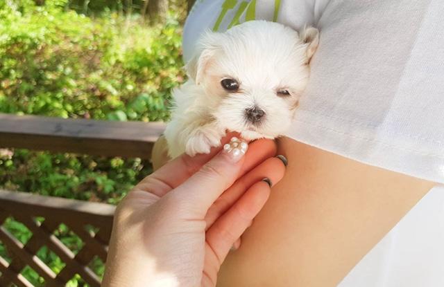 Chó Teacup Maltese