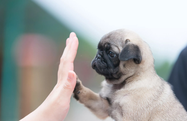 cho teacup pug
