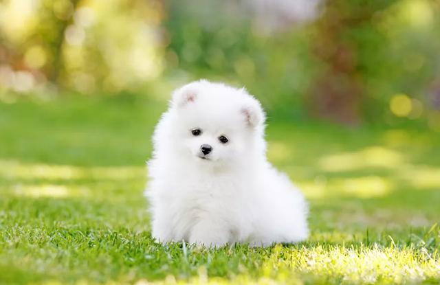 Chó Teacup