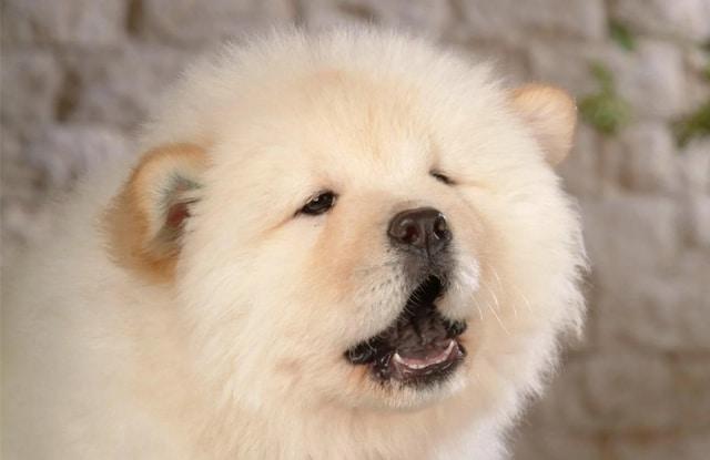 Chó Trông Giống Gấu