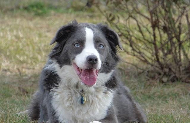 Chó Úc Lai