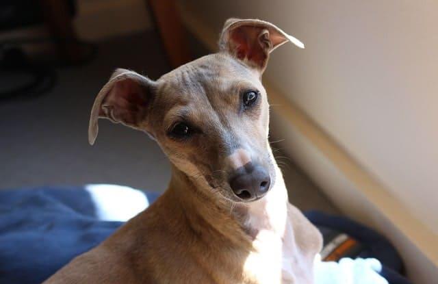 cho y italy Greyhound