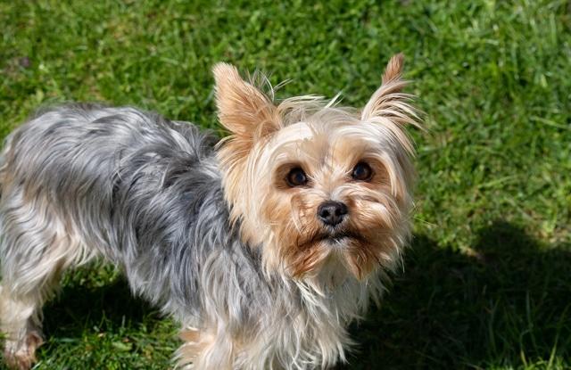 Chó Mini Yorkie