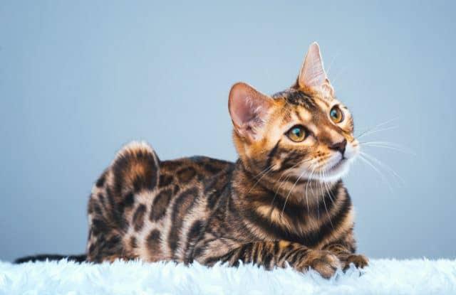 Chọn Mèo Bengal