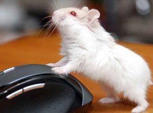 chuot hamster abino