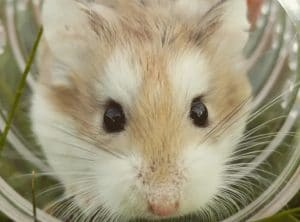 chuot hamster an bao nhieu mot ngay