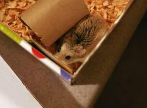 chuot hamster an bia cung