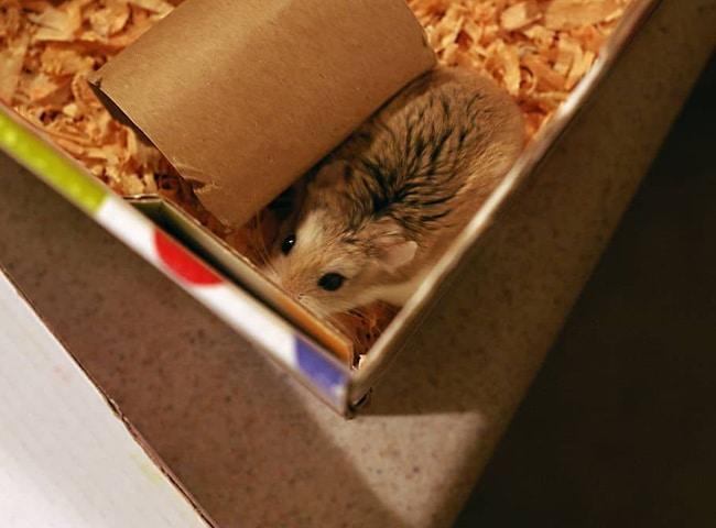 Chuột Hamster Ăn Bìa Cứng