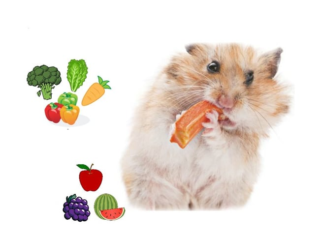 Chuột Hamster Ăn Gì Cho Mập