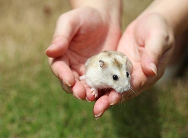 chuột hamster bị rơi từ trên cao