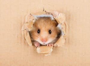 chuot hamster cang thang stress