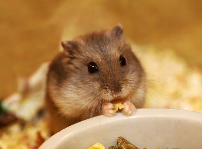 Có Thể Để Chuột Hamster Một Mình Trong Bao Lâu?
