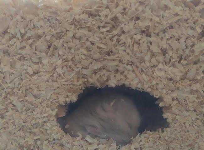 chuot hamster dao hang