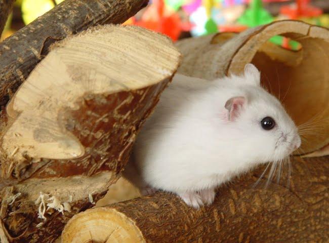 chuot hamster khong an uong bo an