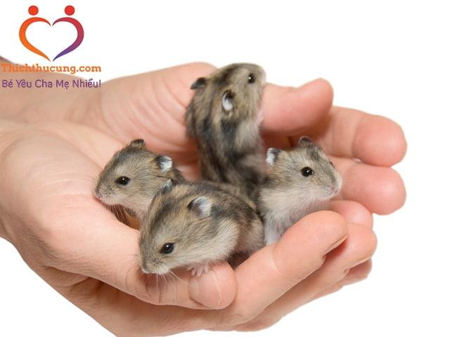 chuột hamster lùn