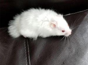 chuot hamster mat do