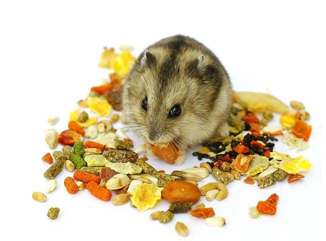 chuột hamster nên ăn gì