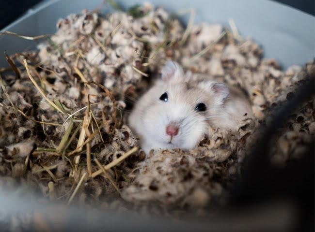 chuot hamster sap chet