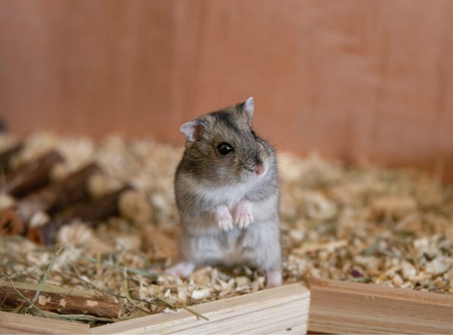 Chuột Hamster Sợ
