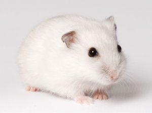 chuot hamster trang