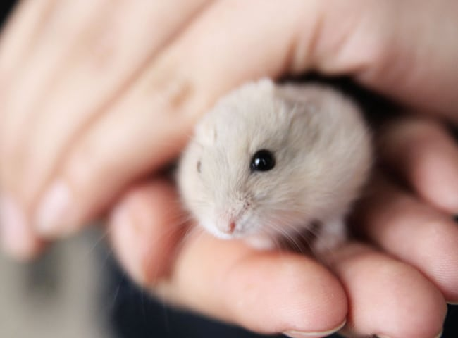 chuot hamster trung quoc