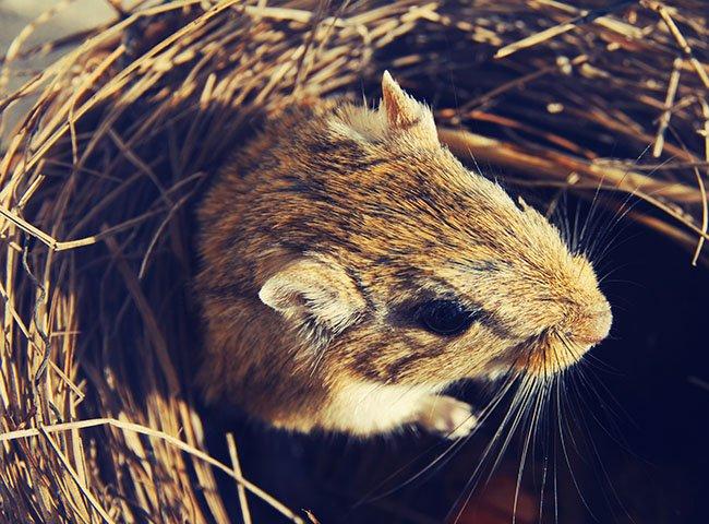 chuột nhảy mang thai