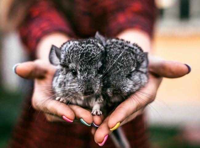 có nên nuôi chuột chinchilla không