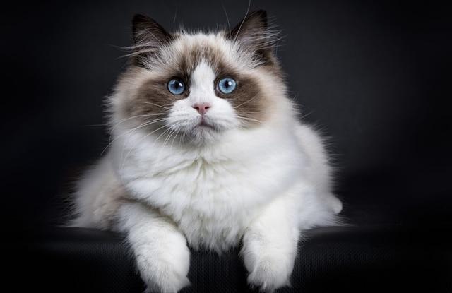 Đặc Điểm Mèo Ragdoll