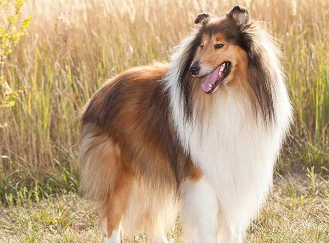 Chó Rough Collie