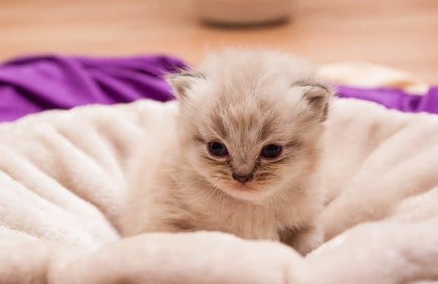 Đặt Tên Mèo Ba Tư